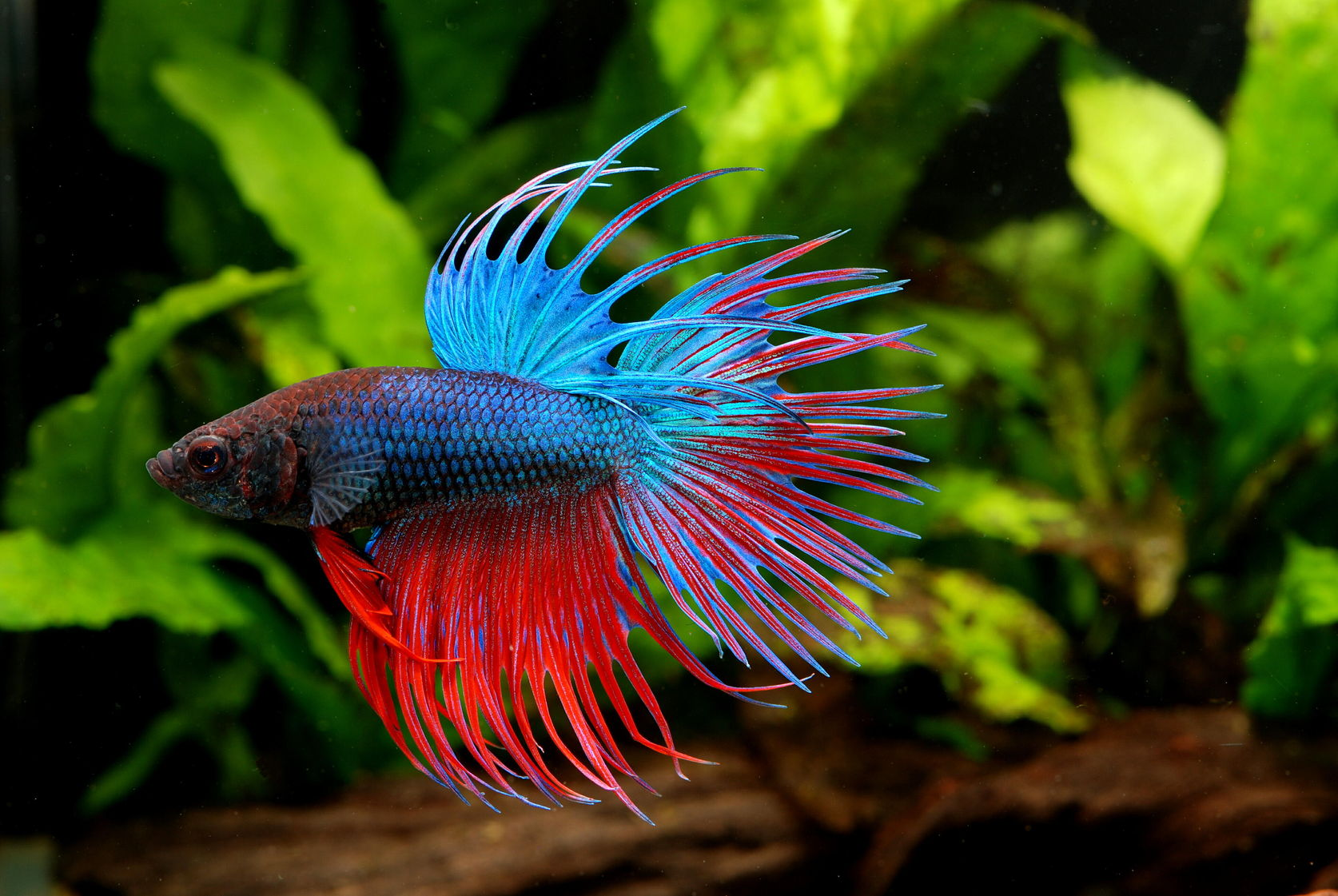 A picture of the very popular Crowntail Betta Fish.