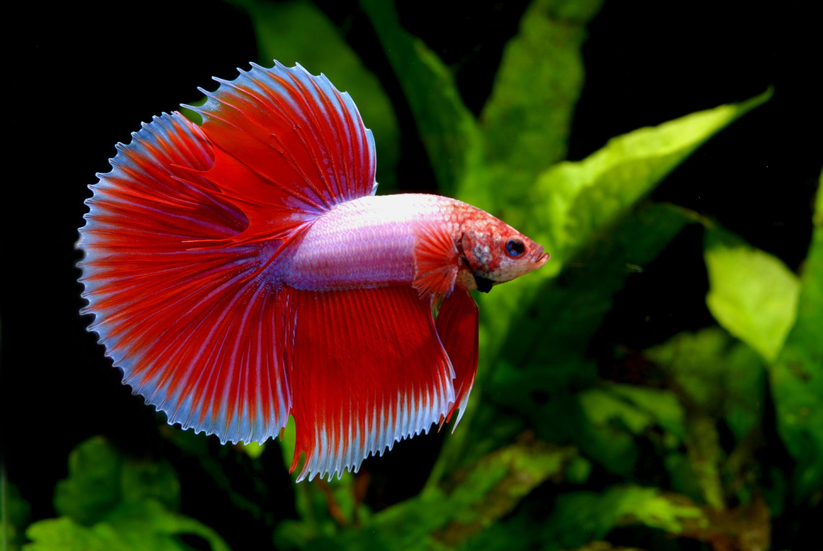 A beautiful bright red and light pink Halfmoon Betta Fish.