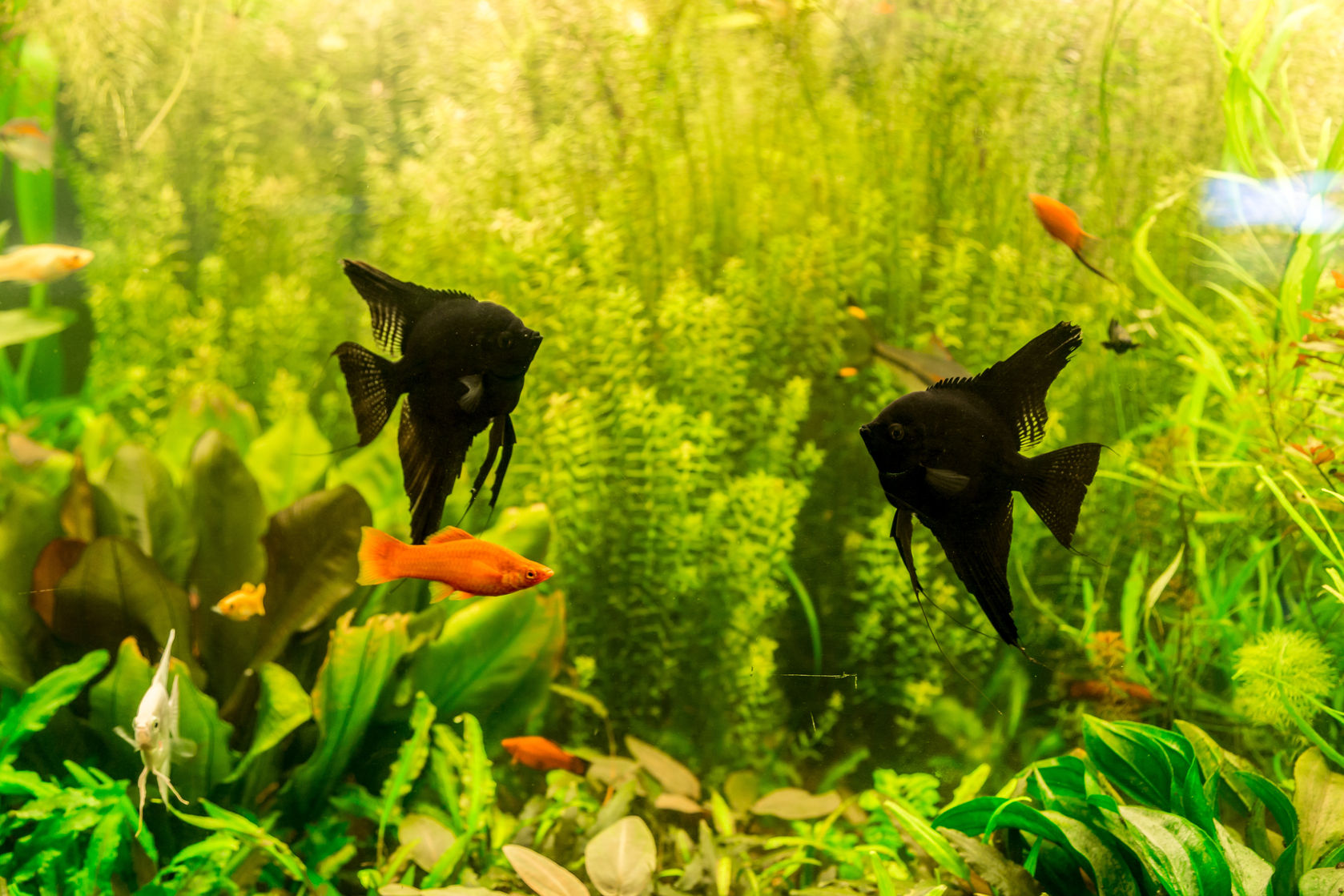 Black Angelfish with Swordtails in a planted tank.
