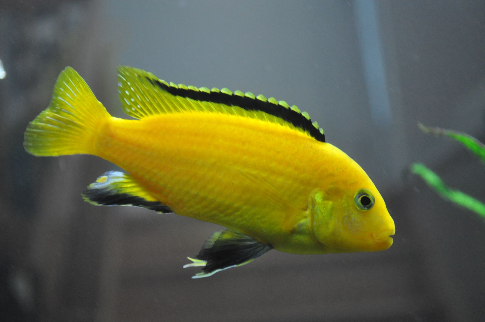 Labidochromis Caeruleus, Electric Yellow Cichlid