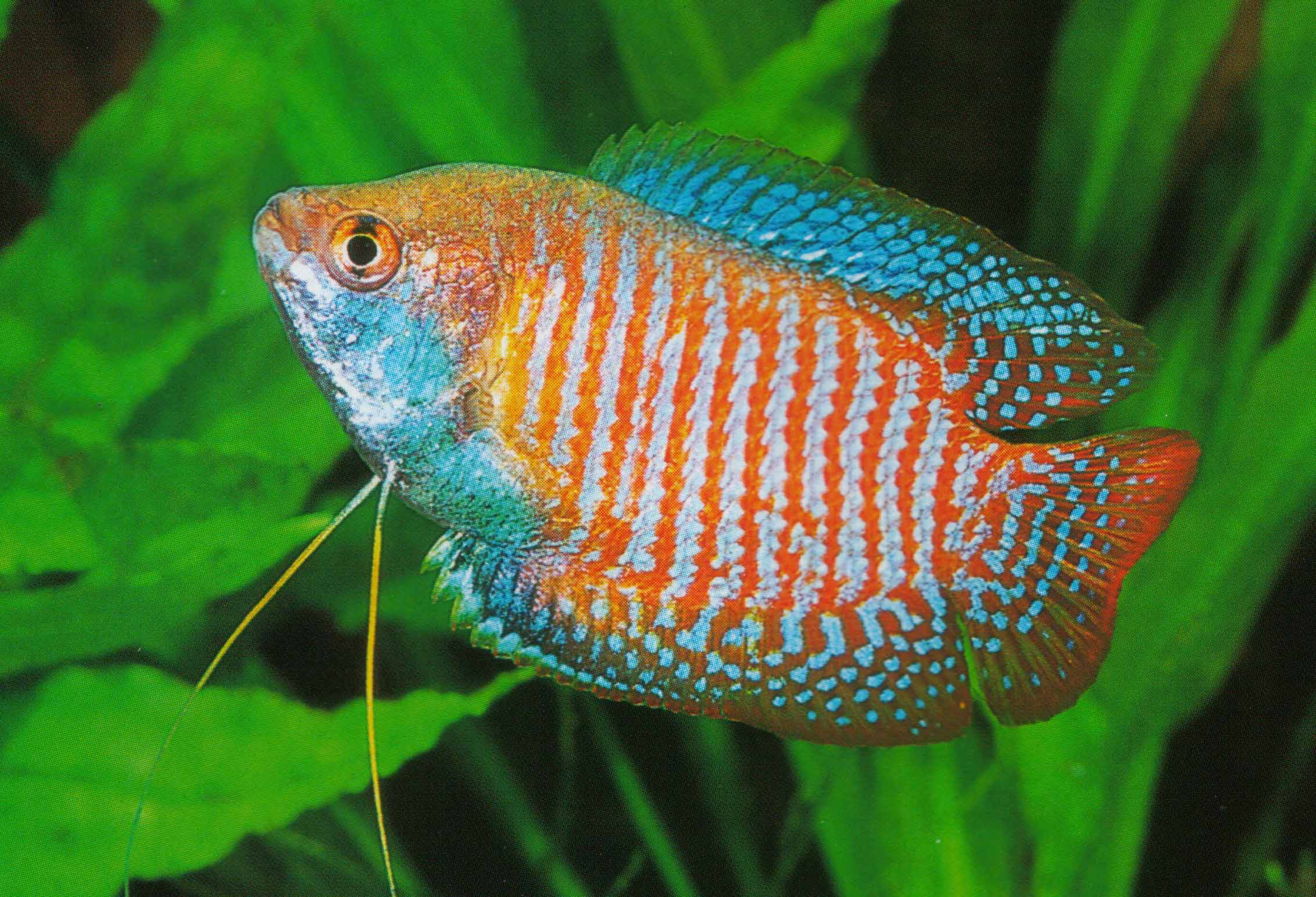 Dwarf Gourami in a home aquarium.