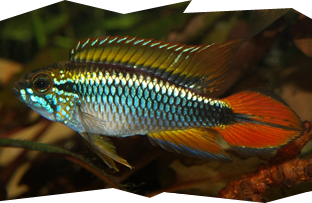 The Apistogramma agassizii or Agassiz's Dwarf Cichlid is a very popular Apistogramma