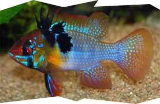 A male German Blue Ram cichlid, Mikrogeophagus ramirezi