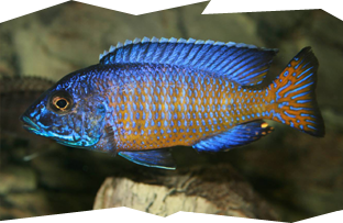 A male Ngara Flametail peacock cichlid