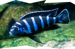 The very popular and aggressive Pseudotropheus Demasoni Cichlid