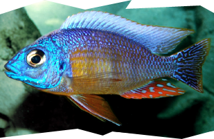 The Taiwan Reef Cichlid is a popular Hap from Lake Malawi