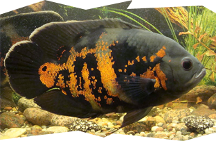 The very popular Tiger Oscar cichlid, Astronotus ocellatus
