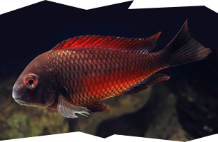 The very popular Tropheus Moorii Moliro Red or Firecracker