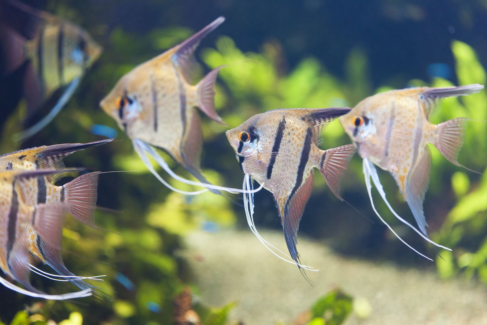 Several Silver Angelfish in a home aquarium.