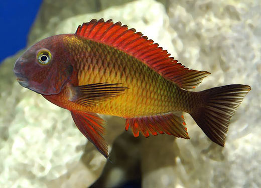 The beautiful Tropheus Moorii Ilangi displaying its bright colors.